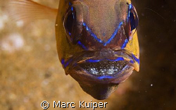 ring-tail cardinalfish with eggs in the mouth. by Marc Kuiper 